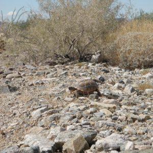 Desert tortoise!